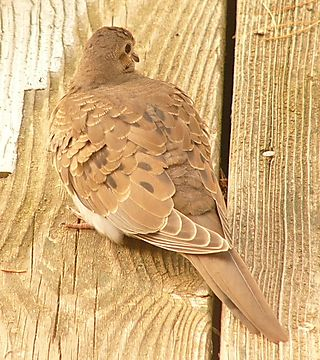 Mourning Dove young P1220219