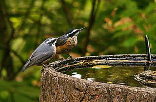 Red breasted Nuthatch and young P1230169