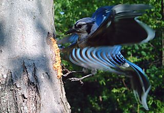Swirly Bird Blue Jay WSBC1966