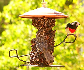 Rose breasted Grosbeak P1220031