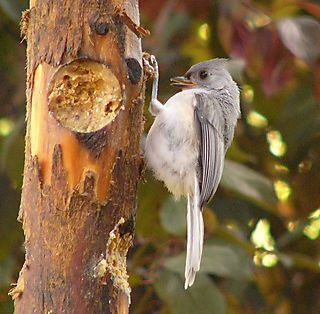Tufted Titmouse P1250416