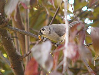 Tufted Titmouse P1250615