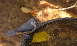 Tufted Titmouse P1270516