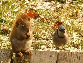 Red squirrel and jay P1280494