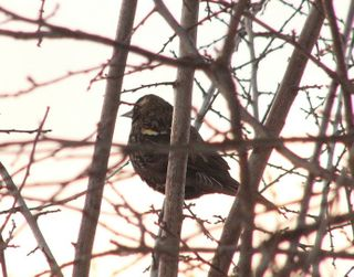 Red winged Blackbird P1290571