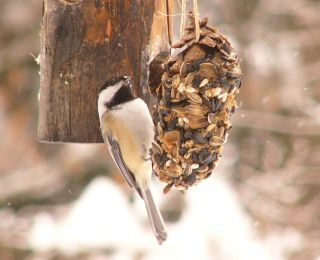 Chickadee on pinecone P1310025