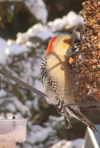 Red-bellied Woodpecker P1300210