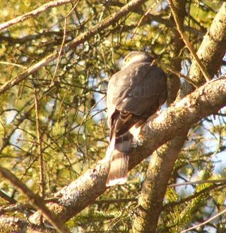 Sharp shinned Hawk P1300269