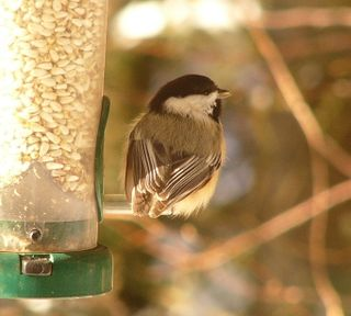 Stumpy chickadee P1300496