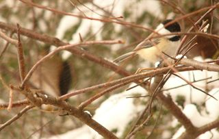 Chickadee and sharp shinned hawk P1300184
