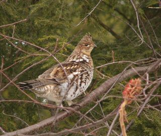 Ruffed Grouse P1310262