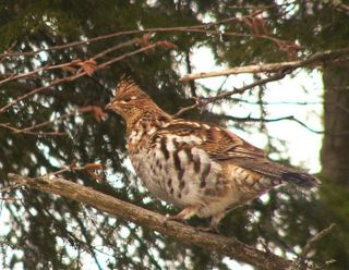 Ruffed Grouse P1310293