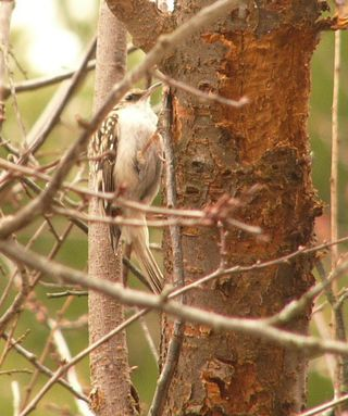Brown Creeper P1340514