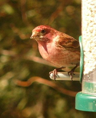 Purple Finch P1330683