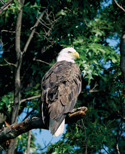 Bald Eagle in tree webres