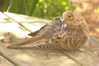 Mourning Dove P1350885