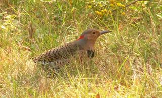 Northern Flicker P1260985