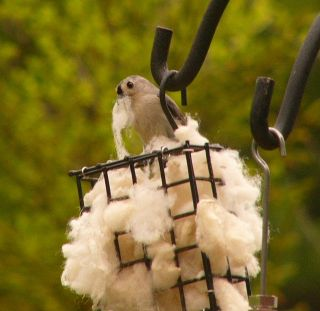 Tufted Titmouse w wool P1210913