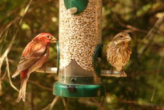 Purple Finch pair P1340509