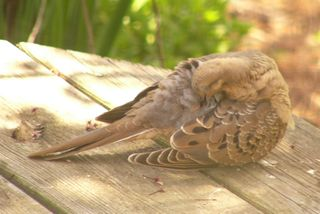 Mourning Dove P1350884