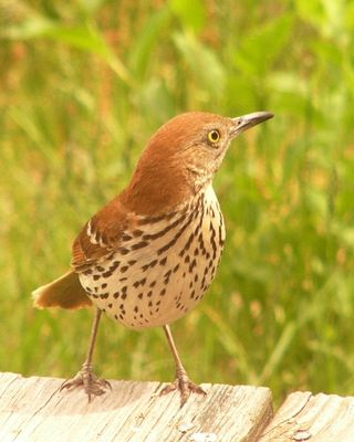 Brown Thrasher P1360226