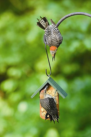 RB woodpeckers on KM compressed