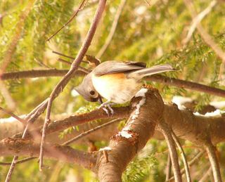 Tufted Titmouse P1170585
