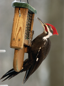 Pileated TailProp webres