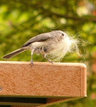 Tufted Titmouse P1350400 cropped