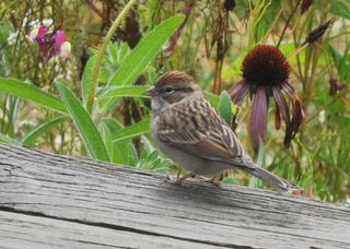 Chipping Sparrow DSC_0294