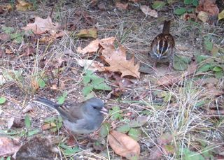 Junco WTSparrow WSBC1999