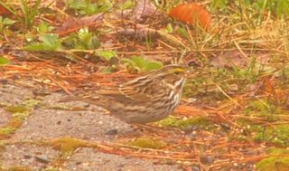 Savannah sparrow P1200759