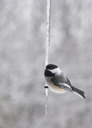 Chickadee on icicle DSC_2192 webres