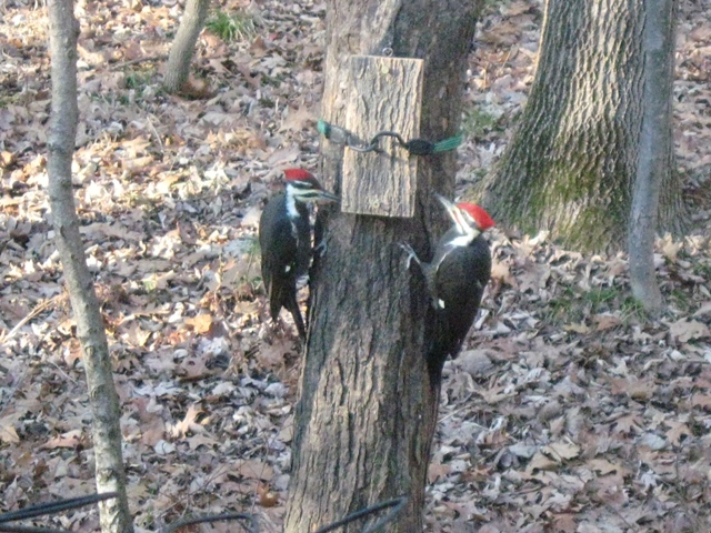 how to make a pileated woodpecker feeder 3
