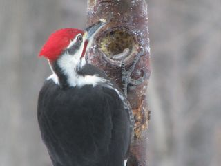 Pileated 0110 IMG_2748