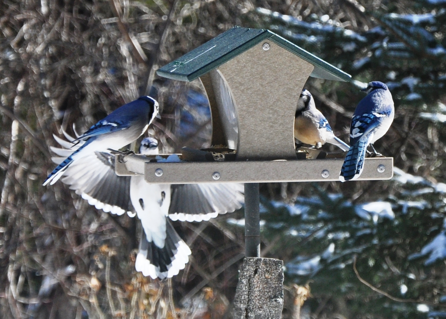 bird tend feeders area feeding to beneath in jay ragweed but tree the visit will blue open from mounted barrens apple away next birds shy feeder they