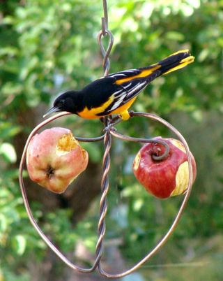 Johnny apple oriole