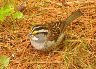 White throated Sparrow DSC_0904