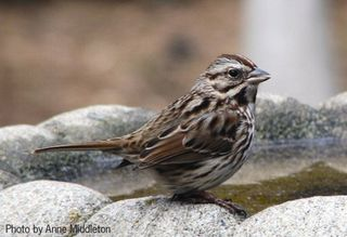 SongSparrow webres