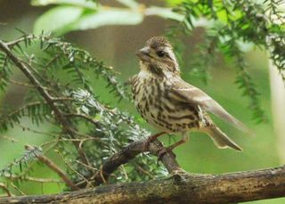 Purple finch young DSC_1529