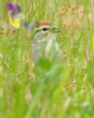 Chipping Sparrow DSC_4102