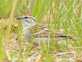 Chipping Sparrow DSC_4111