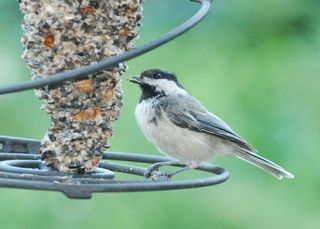 Black capped Chickadee DSC_2052