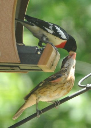 Rose breasted grosbeak male feeding young DSC_2269