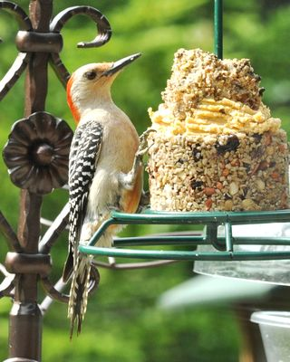 Red-bellied Woodpecker at WBU Stackable Sandwich = No-Mess Stackable + Bark Butter