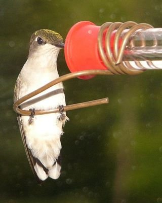 Ruby-throated Hummingbird drinking CLEAR nectar from Holland Hill feeder