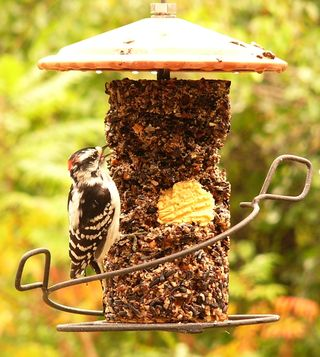 Downy Woodpecker with Bark Butter Treasure