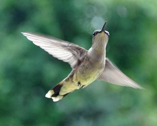 Young female Hummingbird