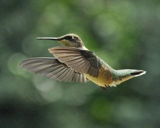 Young male Ruby-throated Hummingbird