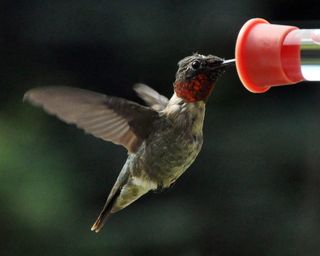 Adult male Hummingbird